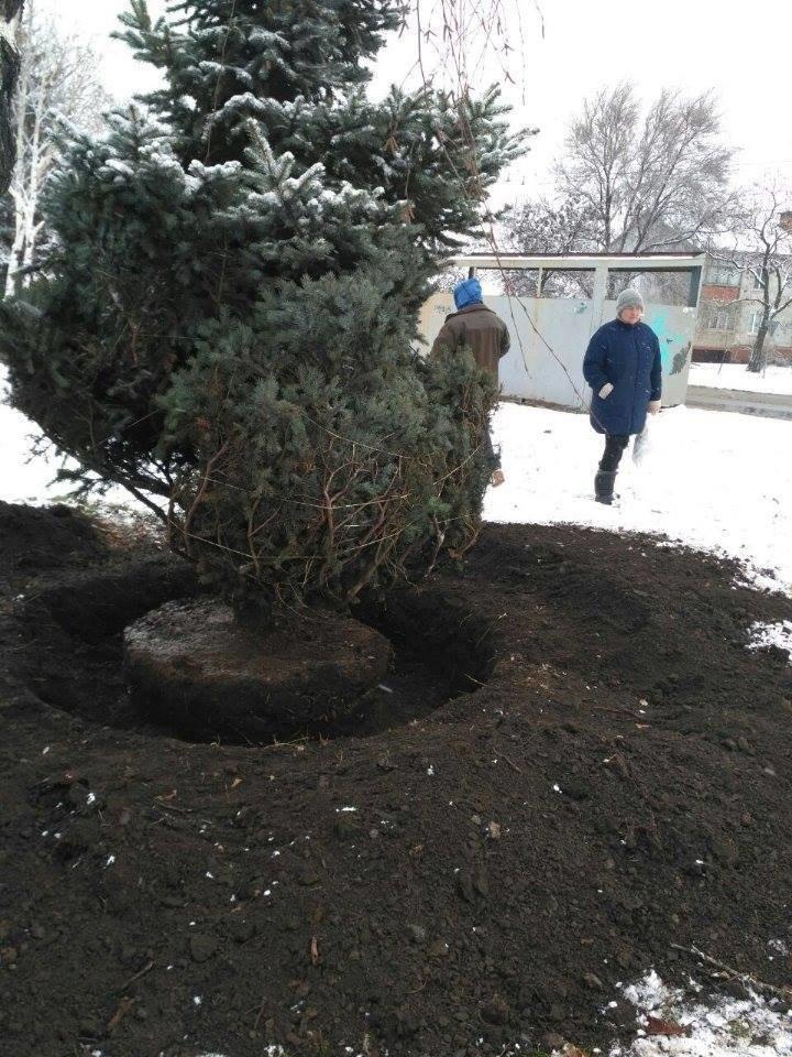 """Криворожане не дали чиновникам выкопать голубую ель """"для пересадки"""" (ФОТО), фото-3"""