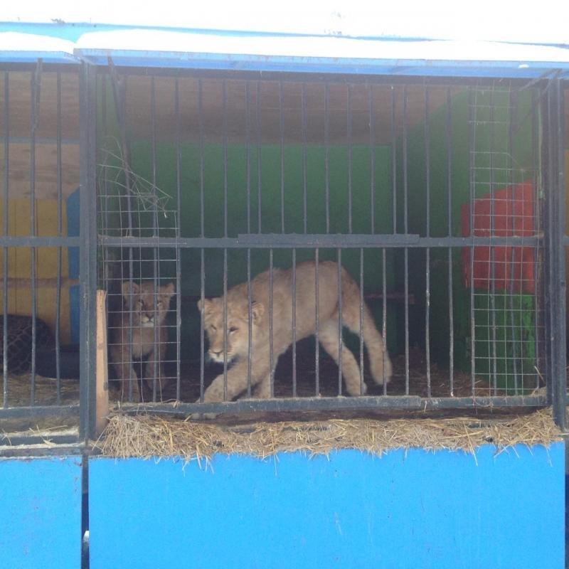 Передвижной зоопарк в Ульяновск: над животными снова издеваются. ФОТО, фото-1