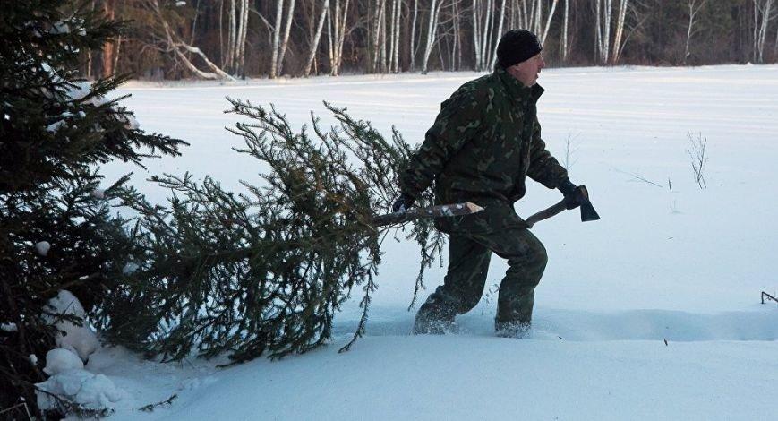 вырубка елки 1