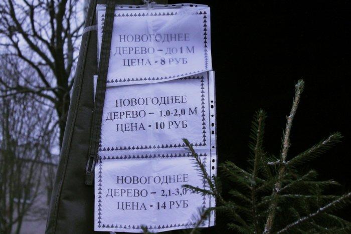 «А у нашей елочки острые иголочки», или выбираем новогоднее дерево по правилам, фото-1