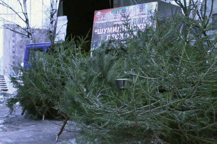 «А у нашей елочки острые иголочки», или выбираем новогоднее дерево по правилам, фото-2