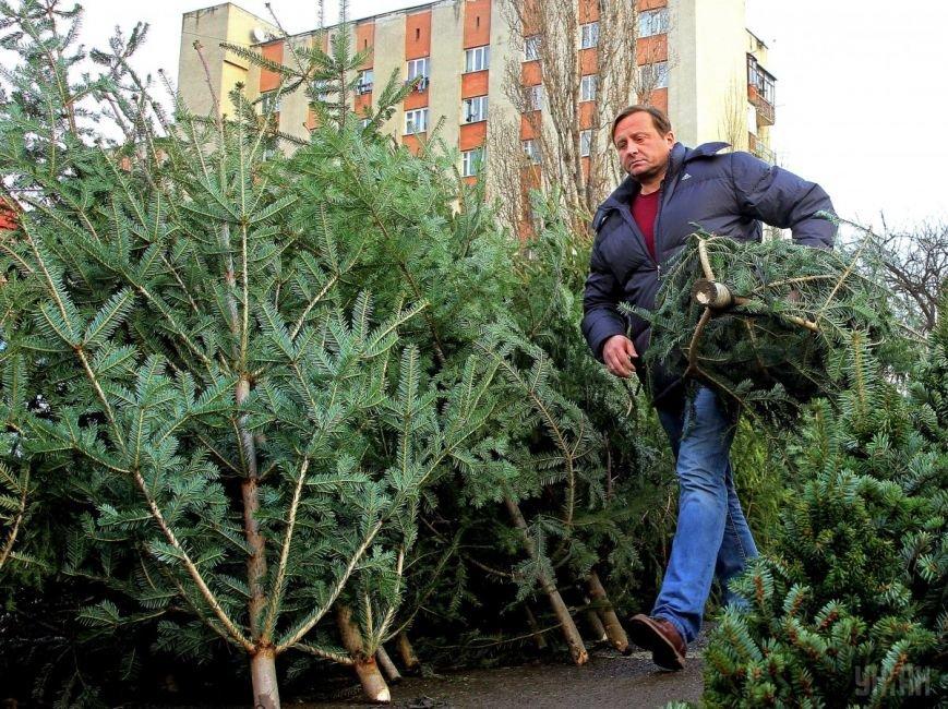 Як в Ужгороді чоловік незаконно ялинки продавав?, фото-1