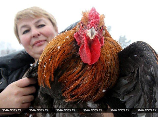 Новогодняя птица счастья, или В поисках Огненного Петуха. Репортаж БЕЛТА из Полоцка и Азино, фото-6
