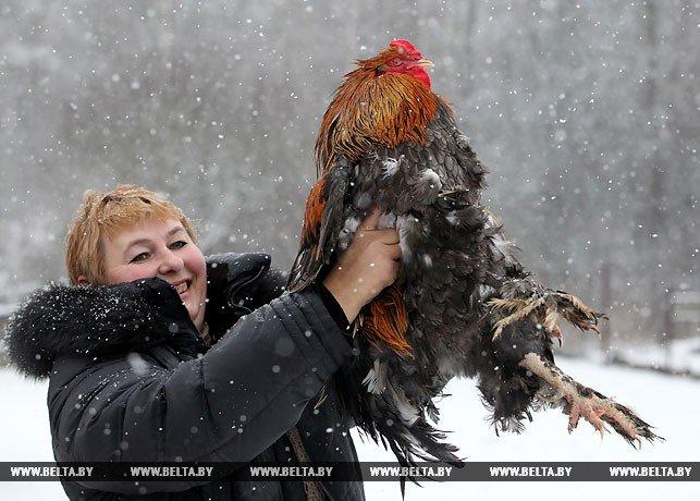 Новогодняя птица счастья, или В поисках Огненного Петуха. Репортаж БЕЛТА из Полоцка и Азино, фото-5