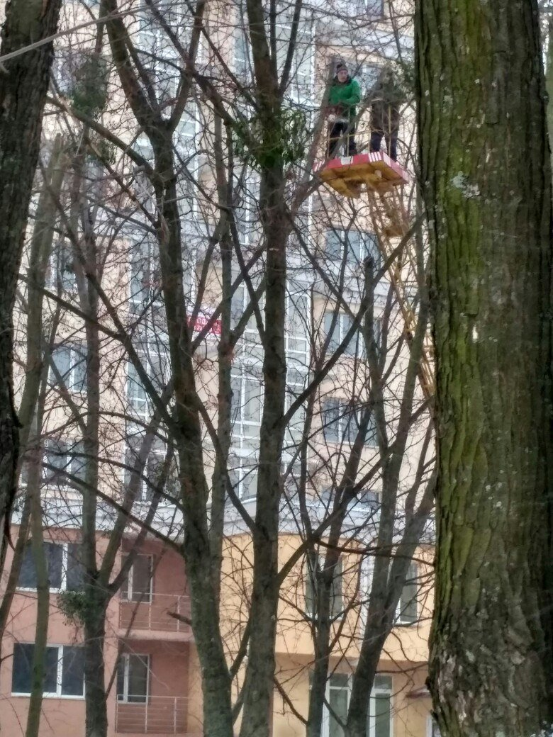 ФОТОФАКТ: обрезка деревьев в Вишневом, фото-2