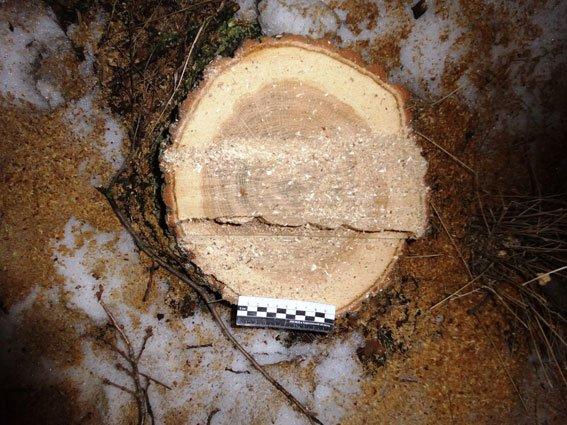 В Харьковской области незаконно вырубили дубы (ФОТО), фото-1