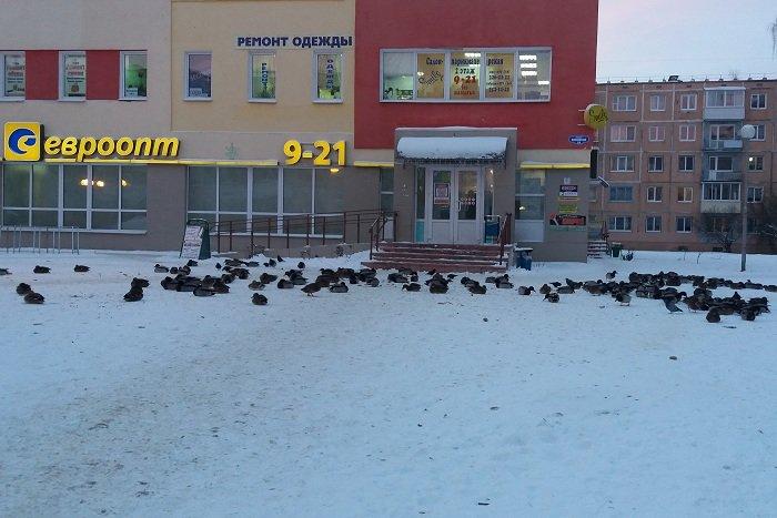 В одном из витебских дворов поселились селезни и утки, фото-1