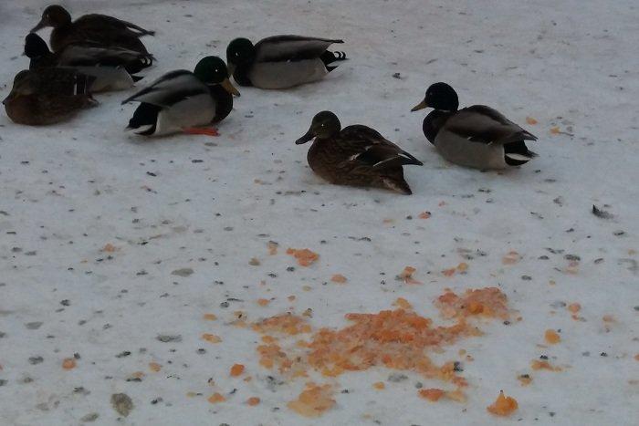 В одном из витебских дворов поселились селезни и утки, фото-2