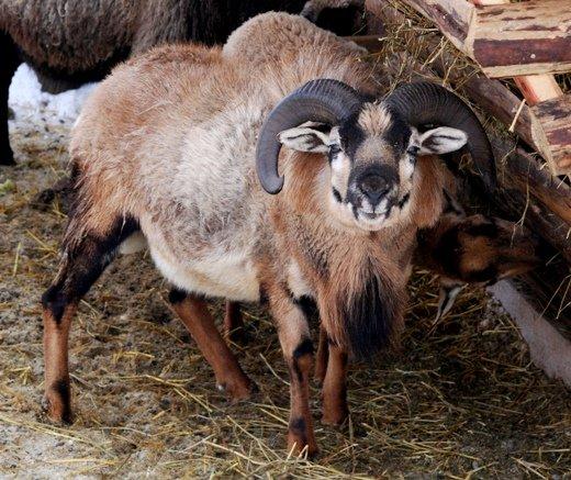 В одесском зоопарке родился милашка-ягненок (ФОТО), фото-2