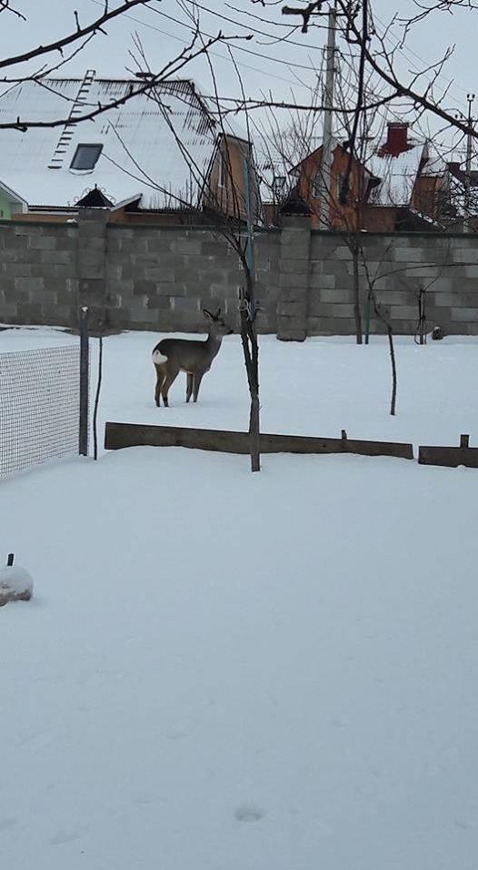 Косуля-приблуда - нова мешканка зоопарку, фото-2