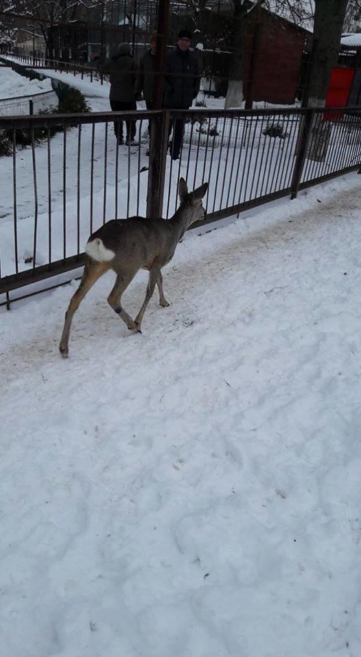 Косуля-приблуда - нова мешканка зоопарку, фото-1