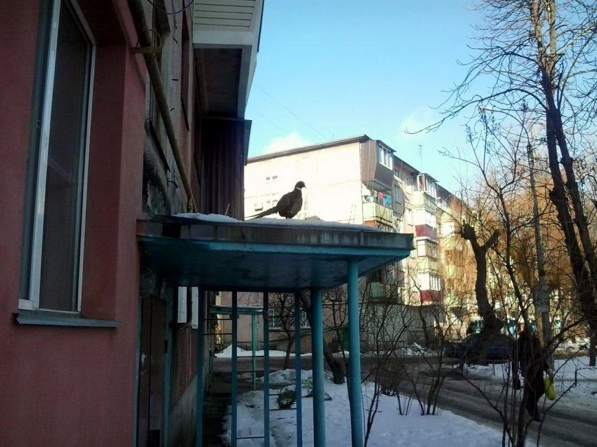 Як у Черкасах фазана рятували (ФОТО), фото-2