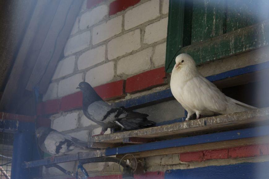 Последний голубятник. Белгородский заводчик птиц мира – о ястребах, дикарях и своём хрупком хобби, фото-1