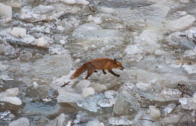 """Закарпатський льодохід добрався до Угорщини - дикі тварини """"гуляють"""" кригою: фото, відео, фото-7"""