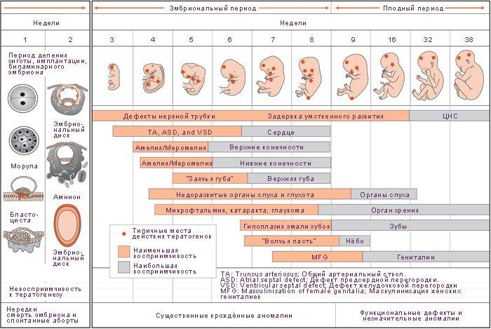 Развитие плода по неделям беременности