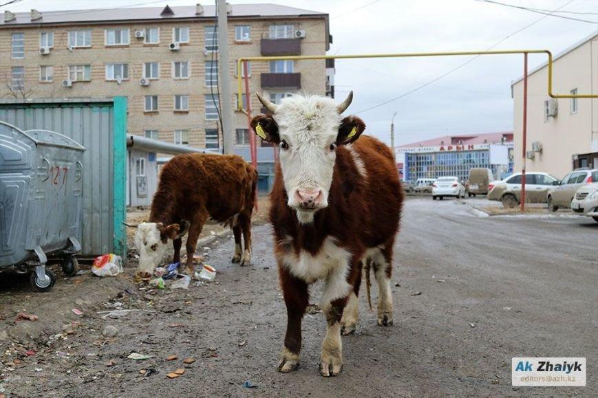 коровы2