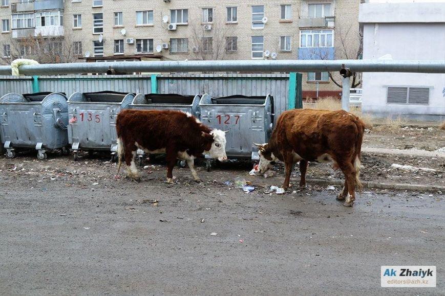 коровы4