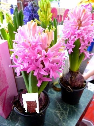 цветы геоцинт новый