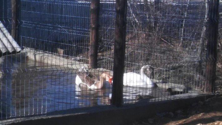 Спасённый черноморцами лебедь переехал в «Нью-Васюки» (фото), фото-4
