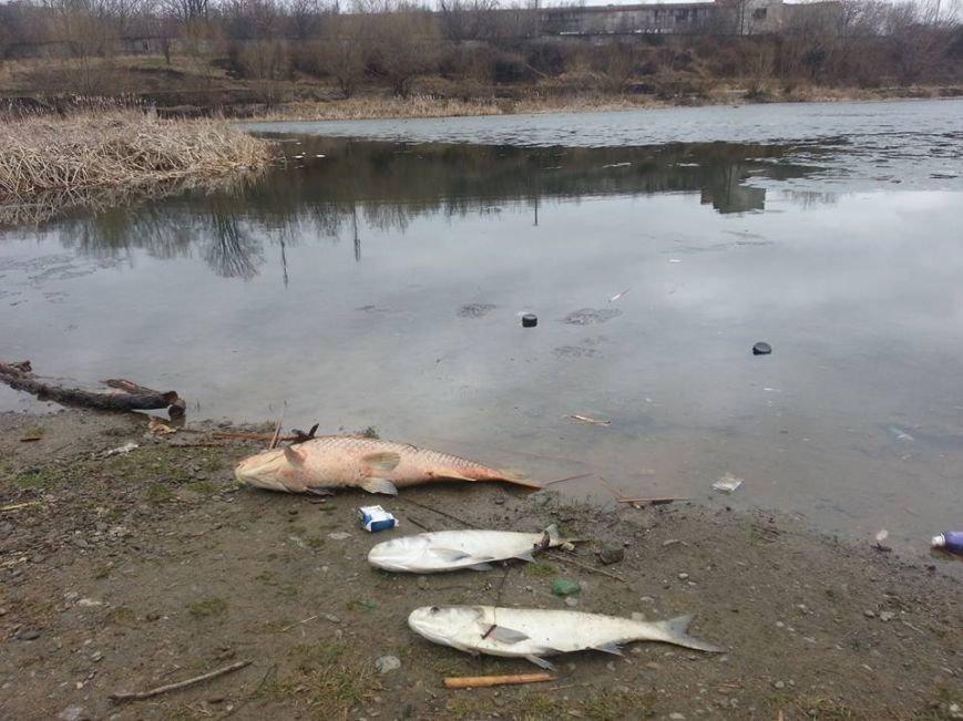 """В Ужгороді на березі озера """"Кірпічка"""" - кількакілограмові мертві риби: фото, фото-1"""