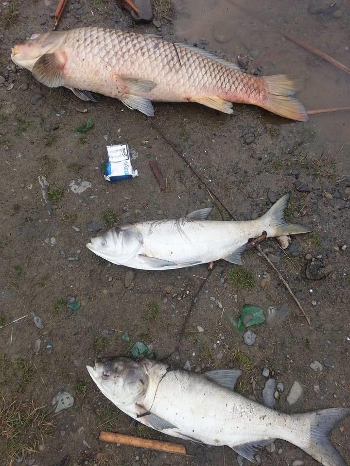 """В Ужгороді на березі озера """"Кірпічка"""" - кількакілограмові мертві риби: фото, фото-2"""
