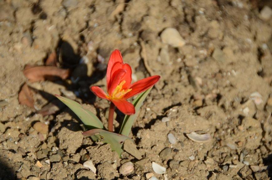 В Никитском ботаническом саду раскрылся первый тюльпан, фото-1