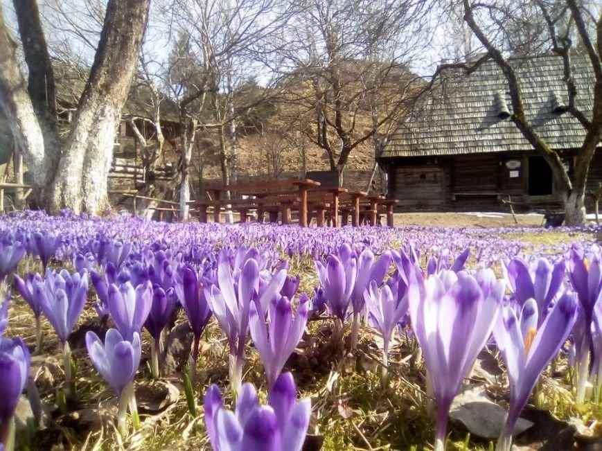 Весняна краса - у Колочаві масово квітнуть шафрани: фото, фото-1