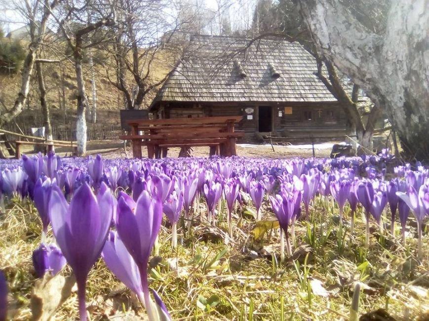 Весняна краса - у Колочаві масово квітнуть шафрани: фото, фото-3