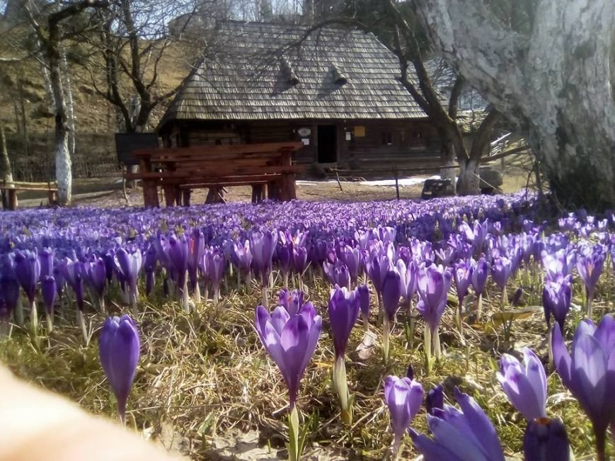 Весняна краса - у Колочаві масово квітнуть шафрани: фото, фото-5