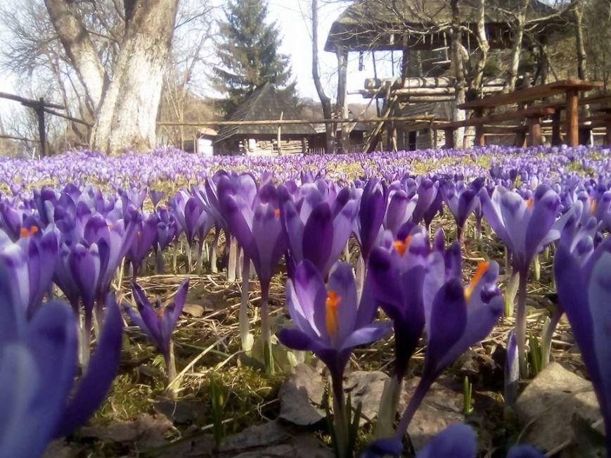 Весняна краса - у Колочаві масово квітнуть шафрани: фото, фото-4