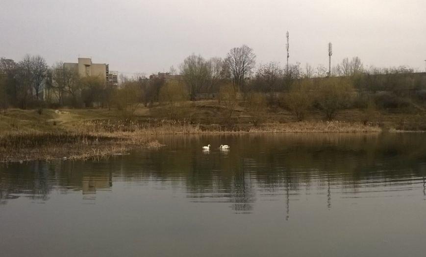 """В Ужгороді на """"Кірпічці"""" оселився ще один лебідь і фазан: фото, фото-1"""