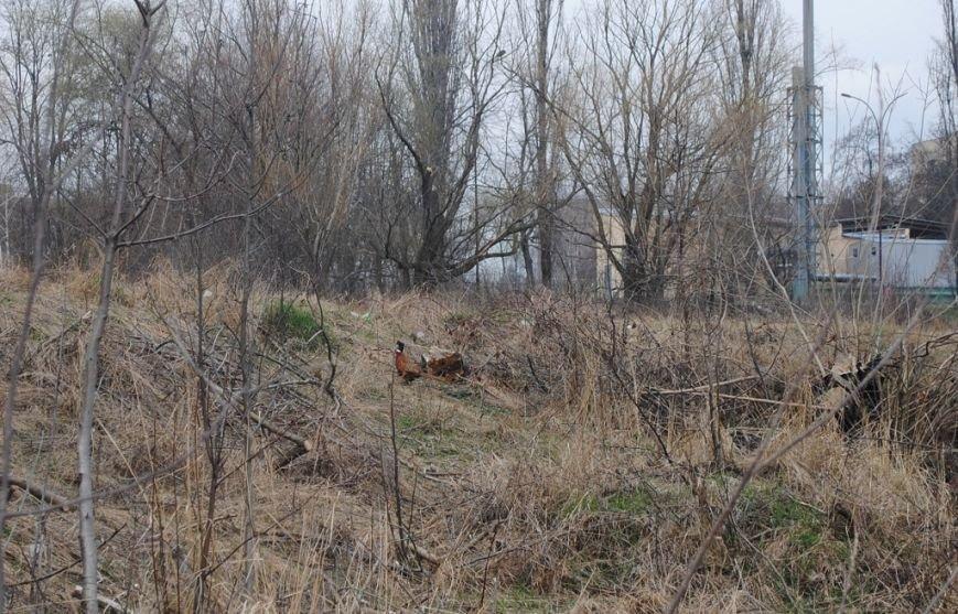 """В Ужгороді на """"Кірпічці"""" оселився ще один лебідь і фазан: фото, фото-3"""