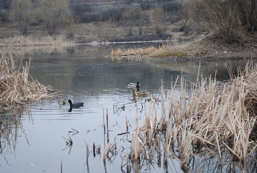 """В Ужгороді на """"Кірпічці"""" оселився ще один лебідь і фазан: фото, фото-2"""