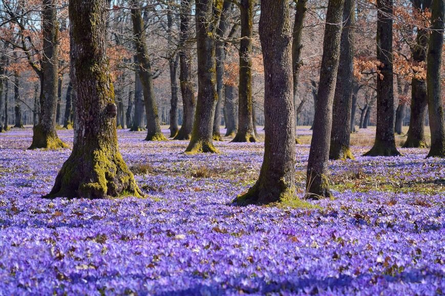 """""""Фіолетове божевілля"""": ужгородський фотограф оприлюднила неймовірні світлини квітучих шафранів, фото-9"""