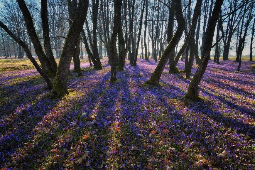 """""""Фіолетове божевілля"""": ужгородський фотограф оприлюднила неймовірні світлини квітучих шафранів, фото-10"""