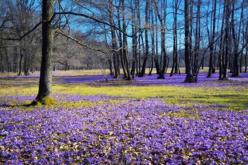 """""""Фіолетове божевілля"""": ужгородський фотограф оприлюднила неймовірні світлини квітучих шафранів, фото-3"""