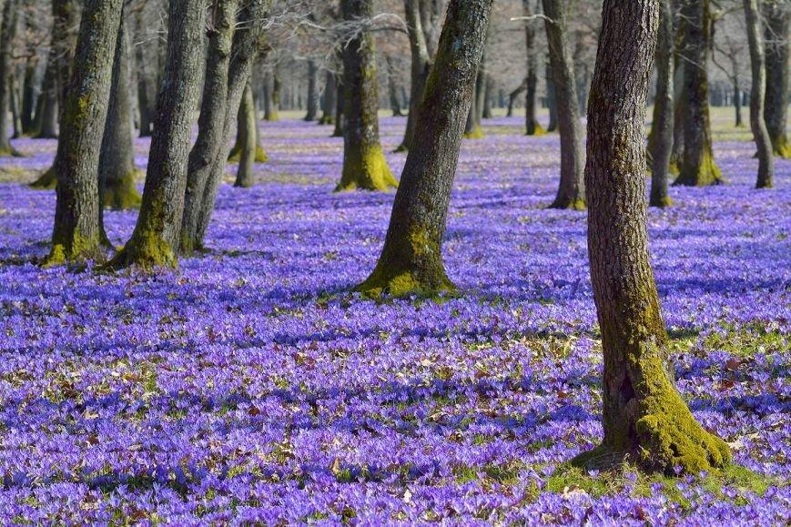 """""""Фіолетове божевілля"""": ужгородський фотограф оприлюднила неймовірні світлини квітучих шафранів, фото-8"""