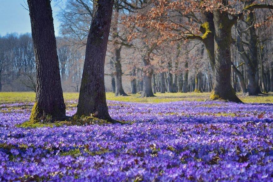 """""""Фіолетове божевілля"""": ужгородський фотограф оприлюднила неймовірні світлини квітучих шафранів, фото-2"""