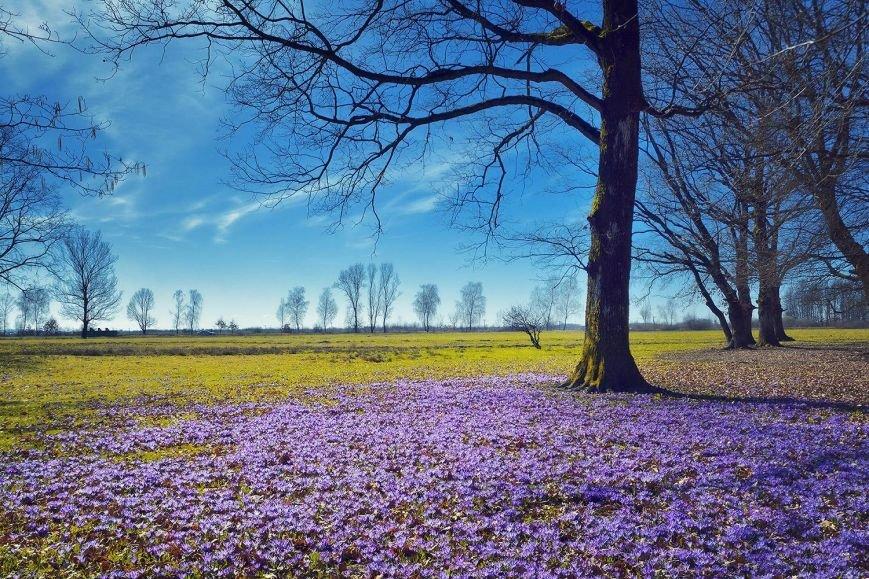 """""""Фіолетове божевілля"""": ужгородський фотограф оприлюднила неймовірні світлини квітучих шафранів, фото-6"""