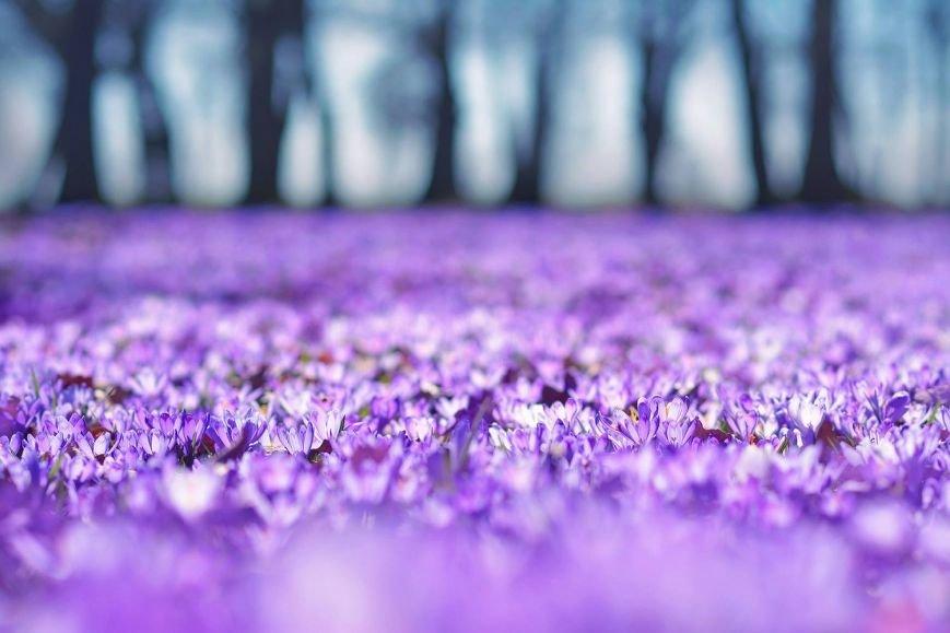 """""""Фіолетове божевілля"""": ужгородський фотограф оприлюднила неймовірні світлини квітучих шафранів, фото-1"""