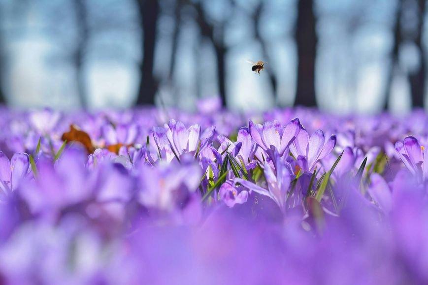 """""""Фіолетове божевілля"""": ужгородський фотограф оприлюднила неймовірні світлини квітучих шафранів, фото-5"""