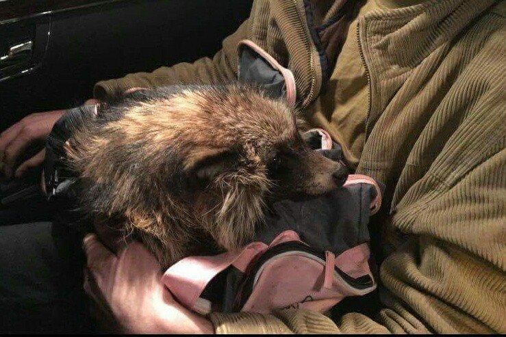 В Ужгороді небайдужі рятують єнота, який залишився без лап: фото, фото-1
