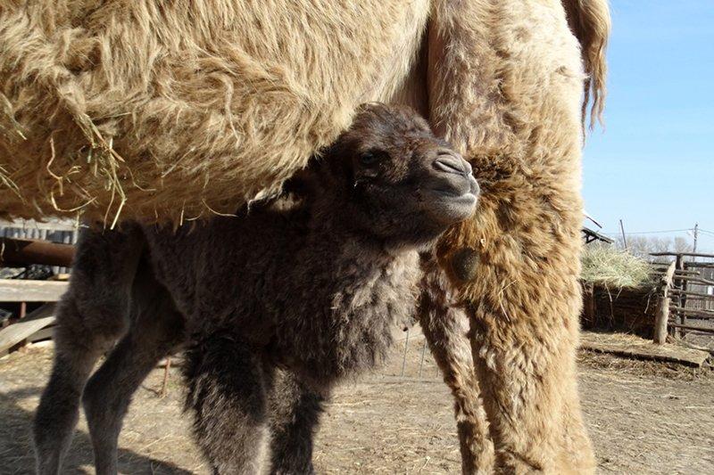 В Старооскольском зоопарке родился верблюжонок, фото-3