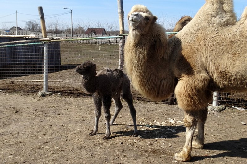 В Старооскольском зоопарке родился верблюжонок, фото-2