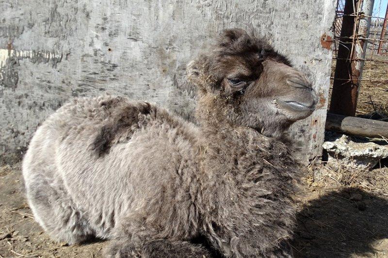 В Старооскольском зоопарке родился верблюжонок, фото-1