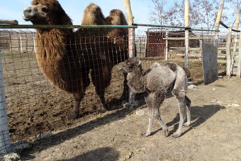В Старооскольском зоопарке родился верблюжонок, фото-4