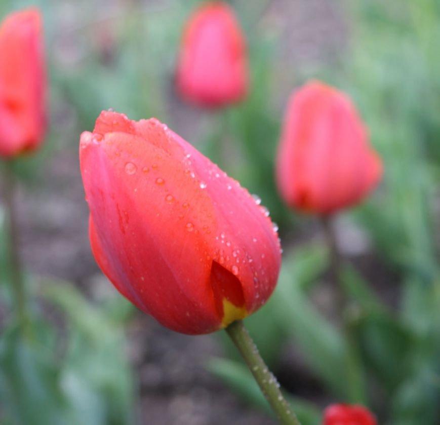 В Никитском ботаническом саду пройдёт  юбилейная выставка коллекционных тюльпанов, фото-4