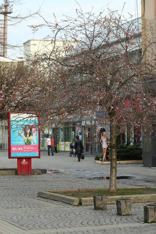 У Берегові вже розцвіли сакури: фото, фото-1