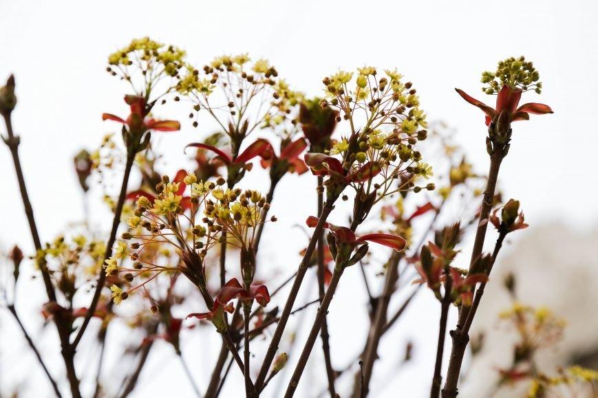 Симферополь начал оживать: распустились почки, зацвели плодовые деревья (ФОТО), фото-2