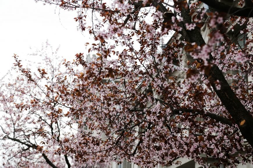 Симферополь начал оживать: распустились почки, зацвели плодовые деревья (ФОТО), фото-7